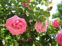 2019-06-23花巻温泉薔薇園139