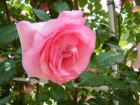 2019-06-23花巻温泉薔薇園141