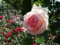 2019-06-23花巻温泉薔薇園142