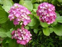 2019-07-13一関市舞川 紫陽花園121