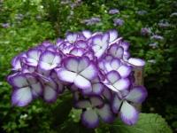 2019-07-13一関市舞川 紫陽花園122