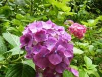 2019-07-13一関市舞川 紫陽花園123