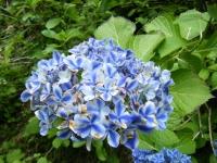 2019-07-13一関市舞川 紫陽花園126
