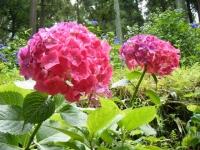 2019-07-13一関市舞川 紫陽花園127