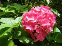 2019-07-13一関市舞川 紫陽花園130