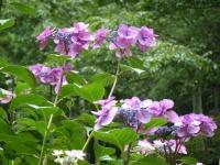 2019-07-13一関市舞川 紫陽花園131