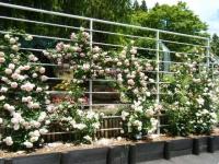 2019-06-23花巻温泉薔薇園145