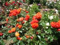 2019-06-23花巻温泉薔薇園149