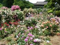 2019-06-23花巻温泉薔薇園154
