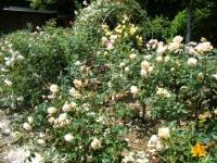 2019-06-23花巻温泉薔薇園156