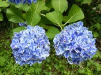 2019-07-13一関市舞川 紫陽花園134