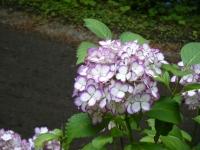 2019-07-13一関市舞川 紫陽花園136