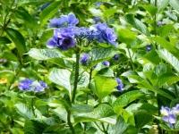 2019-07-13一関市舞川 紫陽花園140