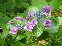 2019-07-13一関市舞川 紫陽花園142