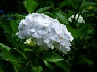 2019-07-13一関市舞川 紫陽花園143