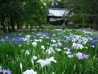 2019-07-01毛越寺あやめ祭り146