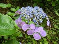 2019-07-13一関市舞川 紫陽花園145