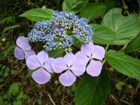 2019-07-13一関市舞川 紫陽花園146