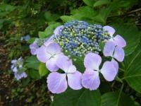 2019-07-13一関市舞川 紫陽花園147