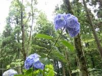 2019-07-13一関市舞川 紫陽花園150