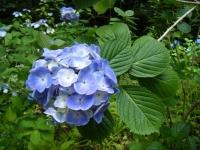 2019-07-13一関市舞川 紫陽花園151