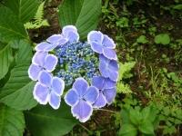 2019-07-13一関市舞川 紫陽花園153
