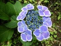 2019-07-13一関市舞川 紫陽花園154