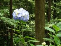 2019-07-13一関市舞川 紫陽花園155