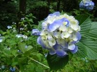 2019-07-13一関市舞川 紫陽花園156