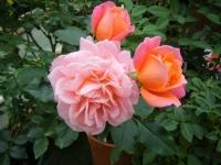 秋の花巻温泉街バラ園2019-09-28-05