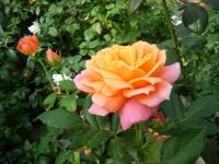 秋の花巻温泉街バラ園2019-09-28-06