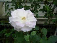 秋の花巻温泉街バラ園2019-09-28-09