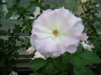 秋の花巻温泉街バラ園2019-09-28-10