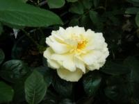 秋の花巻温泉街バラ園2019-09-28-12
