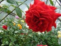秋の花巻温泉街バラ園2019-09-28-22