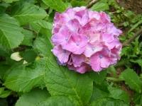 2019-07-13一関市舞川 紫陽花園158