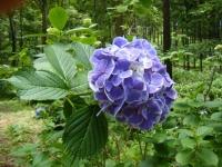 2019-07-13一関市舞川 紫陽花園159