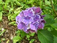 2019-07-13一関市舞川 紫陽花園160