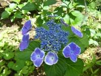 2019-07-13一関市舞川 紫陽花園161