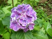 2019-07-13一関市舞川 紫陽花園165