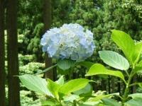 2019-07-13一関市舞川 紫陽花園166