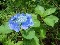 2019-07-13一関市舞川 紫陽花園167