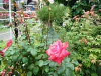 2019-06-23花巻温泉薔薇園181