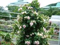 2019-06-23花巻温泉薔薇園182