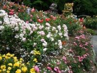 2019-06-23花巻温泉薔薇園185