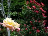 2019-06-23花巻温泉薔薇園188