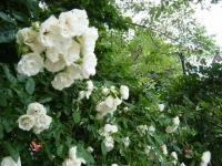 2019-06-23花巻温泉薔薇園190