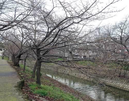 19-221河津桜