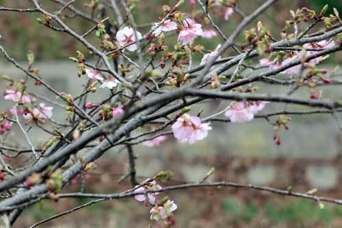 190221河津桜3