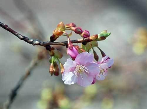 190223河津桜